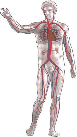 Top Anatomie van het hart en vaatstelsel &YA86
